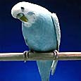Frosty, our resident budgie, listens intently to your thoughts