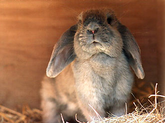 lop-eared bunny ©Patrick Oostenrijk, from Care-Mail