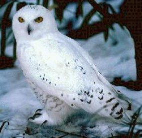Snowy Owl listens to the silence on the wind.